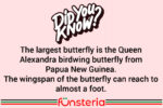 The largest butterfly is the Queen Alexandra birdwing butterfly from Papua New Guinea. The wingspan of the butterfly can reach to almost a foot.